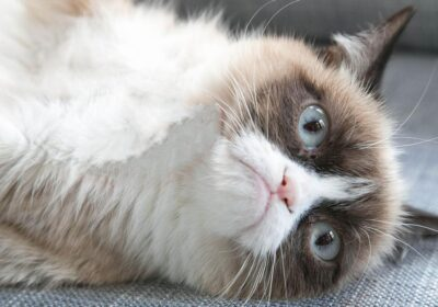 Grumpy Cat: from meme to millionaire business